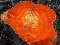 Fresh cut stump Royalty Free Stock Images