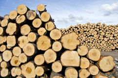 Fresh cut tree logs on field Stock Photography