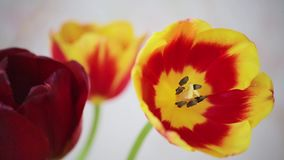 Fresh tulips. Fresh cut tulips, the sun shines, blowing a little breeze stock footage