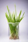 Fresh cut wheat grass Royalty Free Stock Photography