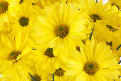 Fresh Cut Yellow Daisy Flowers Stock Images