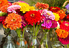 Fresh Cut Zinnias Stock Image