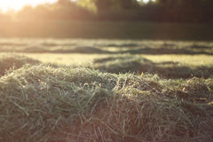 Fresh cutted hay Royalty Free Stock Images