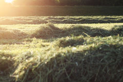Fresh cutted hay Stock Photos