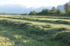 Fresh cutted hay Royalty Free Stock Photo