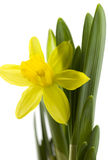 Fresh daffodil. On a white background royalty free stock image