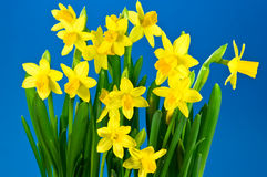Fresh Daffodils Stock Photography