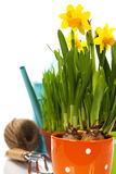 Fresh daffodils and garden tools Royalty Free Stock Photography
