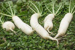 Fresh Daikon on the lawn. Daikon dug up in the fall and put on the lawn Royalty Free Stock Images