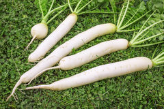 Fresh Daikon radish on the lawn. Daikon dug up in October and put on the lawn Royalty Free Stock Image