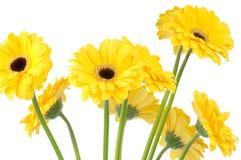 Fresh daisies Stock Photography