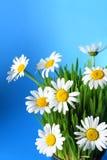 Fresh daisies on blue background Stock Photo