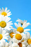 Fresh daisies on blue background Stock Photography