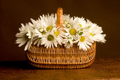 Fresh Daisies bouquet in basket Stock Images