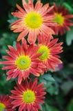 Fresh daisies chrysanthemum Stock Image