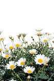 Fresh Daisies isolated on white Royalty Free Stock Image