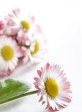 Fresh daisy Royalty Free Stock Photo