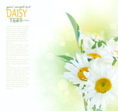 Fresh daisy background royalty free stock photos
