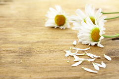 Fresh daisy chamomile flowers Stock Images