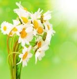 Fresh daisy flowers stock photo
