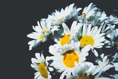 Fresh daisy flowers on black background stock photos