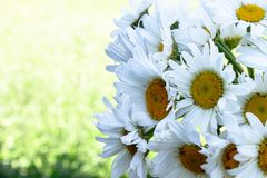 Fresh daisy flowers on green grass background. With copy space for text stock photography