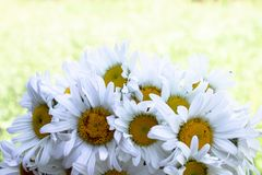 Fresh daisy flowers on green grass background. With copy space for text stock photos