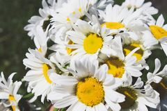 Fresh daisy flowers on green grass background stock images