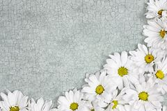 Daisy Flower Background with Space for Text. Fresh Daisy flowers over green craquelure background with room for your text Royalty Free Stock Image