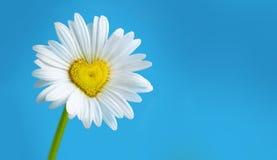 Fresh daisy stock photography