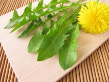 Fresh dandelion greens Royalty Free Stock Photo