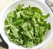 Fresh Dandelion Leaf Lettuce in Colander Stock Images