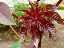 Fresh dark red and green castor oil plant leaf with blurry backgroun. Beautiful fresh dark red castor oil plant leaf with blurry background. beauty in nature royalty free stock photos