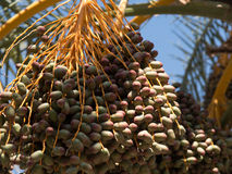 Fresh dates on date palm Royalty Free Stock Images
