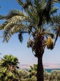 Fresh dates on date palm Royalty Free Stock Photography