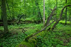 Fresh deciduous stand of Bialowieza Forest Stock Images