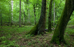 Fresh deciduous stand of Bialowieza Forest in springtime Royalty Free Stock Photo