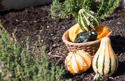 Fresh decorative gourds Royalty Free Stock Images