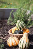 Fresh decorative gourds Stock Image