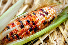 Fresh Decorative Indian Corn Stock Photos