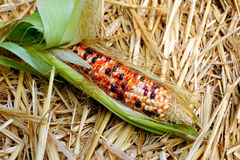 Fresh Decorative Indian Corn Royalty Free Stock Photos