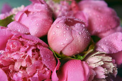 Fresh delicate pink peonies. Delicate fresh flowers and buds big pink peonies with drops after rain close up Royalty Free Stock Images