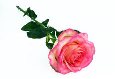 Fresh delicate pink rose lies on a white background. love. royalty free stock photo