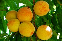 Fresh delicious peach Royalty Free Stock Image
