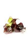 Fresh delicious red lettuce Royalty Free Stock Photos