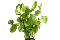 Fresh delicious variety of fragrant basil close-up on a white Royalty Free Stock Photo
