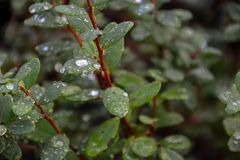 Green leaves with waterdrops Royalty Free Stock Images