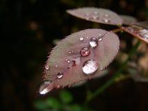 Fresh dew drops on rose flower leaf. Stock Images