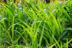 Fresh dew on a green grass closeup Royalty Free Stock Image