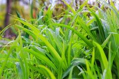 Fresh dew on a green grass closeup Stock Image